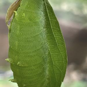 オオムラサキ初前蛹、いちごジャム