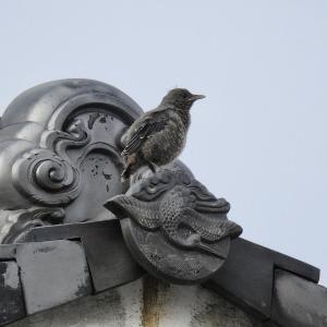 イソヒヨドリ幼鳥が巣立ち