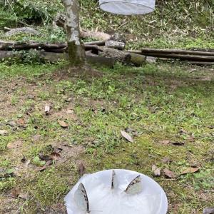 オオムラサキ放蝶に行って、烏骨鶏のヒヨコ