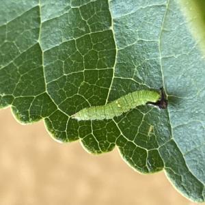 幼稚園のエノキに袋かけ。ゴマダラチョウの幼虫。オオムラサキ2令幼虫。
