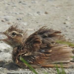 羽がボロボロのヒバリが砂浴びしてました。かじられたトウモロコシ。