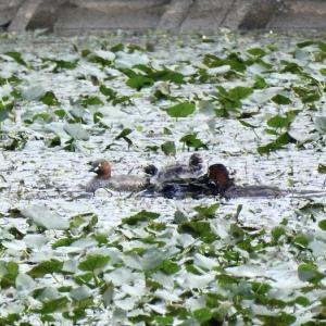 ひなを連れたカイツブリの家族、セイタカシギ