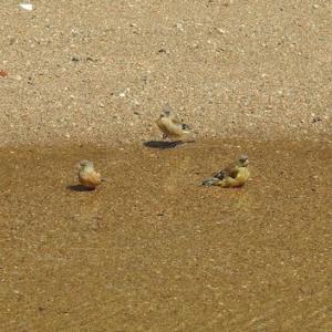 カワラヒワとスズメの水浴び。松の剪定終了。