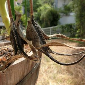 悪魔の爪(Proboscidea loisianica)の育て方