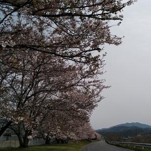 今年の桜はあくまで今年の桜