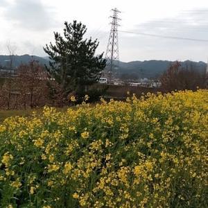 コロナ騒動少し前の菜の花