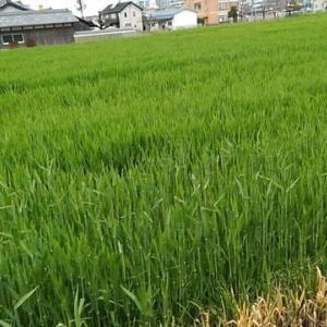 麦の成長観察日記