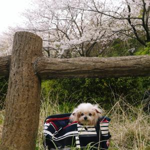 桜と初めてのオムツ