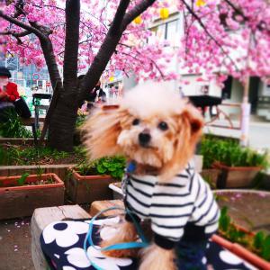 河津桜満開の中16歳になりました
