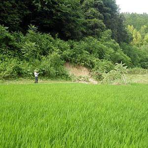 田んぼに面する法面の地崩れ