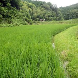 今年の稲の出穂(しゅっすい)