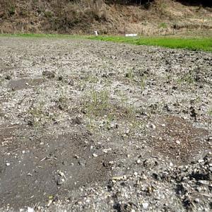 緑肥の為のヘアリーベッチ