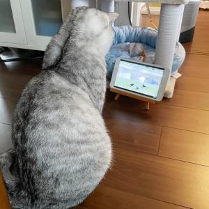 「猫が観るテレビ」をみせてみました♪