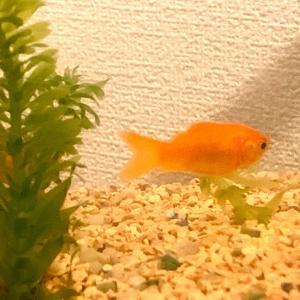 【45日目】金魚がやってきた