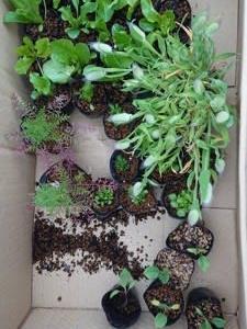 3/30(月)たくさんの苗をいただきました!レタス定植   & 3/31(火)雨後の様子見(笑)
