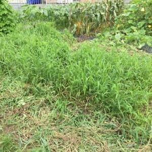 7/20(月)キュウリがまた採れ期です! & 赤いカラーピーマン 初収穫!他