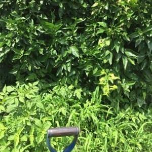 7/21(火) ミョウガは・・まだだった。。& 草取りは続く & 収穫など