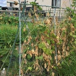8/10(月)キュウリ撤収、キュウリ畝周りの整備、ゴーヤもあるよ & 収穫!他