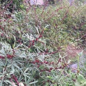 9/15(火)ローゼル収穫に出かけました & 茄子、復調の兆しかな?・・など