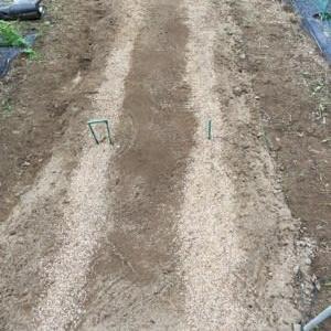 9/16(水)冬どりあまうま大根とサラダ大根紅の種を蒔きました! & コットンも収穫