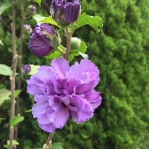 9月後半から10月にかけて アオイ科のお花たちが挽回です!他