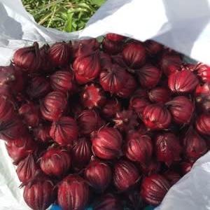 10/24(土)その1 葉からし菜・紅芯大根・ミニコン大根 蒔きました