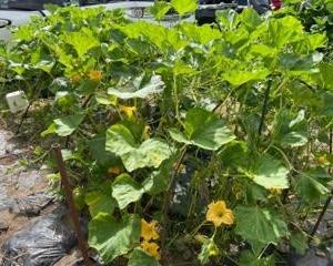 7/24(土)収穫のみ!、7/26(月)やる気満々で行ったのに・・雨。。結局収穫のみ