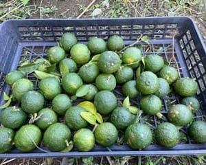 9/19(日)青柚子、雪化粧、ブラックのジョー、バターナッツカボチャなど収穫! & ブロッコリー類、定植しました!