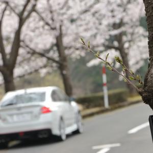 みんカラ投稿企画  愛車と桜