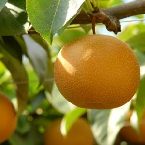 旬のフルーツ 梨ですよね! ふなっしー元気ですかね?