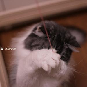 ぼろぼろのおもちゃに執着する猫 コバンちゃんの華麗な?キャッチ
