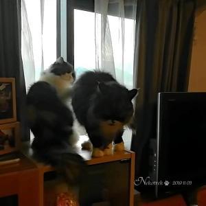 定員オーバーな猫たち(猫動画)コバンのゆるゆる猫パンチ