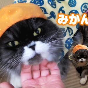 猫とみかんとちゃんちゃんこ cat wears kimono jacket vest and mikan hat. funny! 猫動画