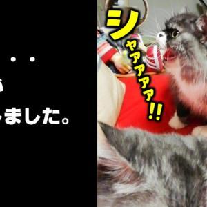 家の猫のパパのお迎えが厳しすぎる(猫動画) Angry cat and Indifferent cat