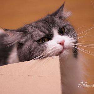 段ボールスリスリ 順番待ちする猫