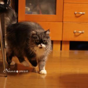 行ったり来たりな猫 甘え方のクセが強いレイラちゃん