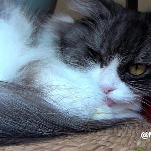 舌ペロのままねんねするコバンちゃんの可愛い猫動画