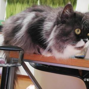 遠巻きにに鳩を見つめる猫さんたちの動画
