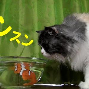 はじめてのロボフィッシュ🐟どうしていいか分からないコバンちゃん 猫VSロボフィッシュ