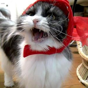金魚を被ったうちの猫がミャーミャー可愛すぎる動画🐟ショートバージョン