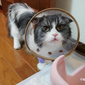 コバンちゃん手術当日退院後 何度も猫トイレに入る 右手にはまだ点滴用チューブが入ってます