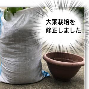 大葉栽培の失敗を修正。久しぶりの袋栽培。