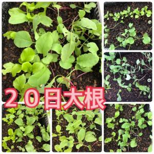 【ボックス水耕栽培】20日大根の土寄せ