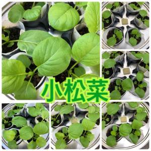 【ベランダ水耕栽培】9/2〜 一本化後の小松菜