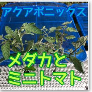 メダカでアクアポニックス。ミニトマトの脇芽を利用。