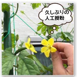 【水耕栽培】久しぶりにゴーヤの人工授粉。