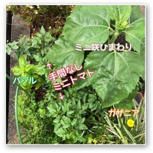 花壇の寄せ植え大成功。失敗かと思ったミニトマトが、、、
