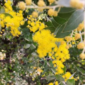 ティーサロンのお庭でミモザ開花♡