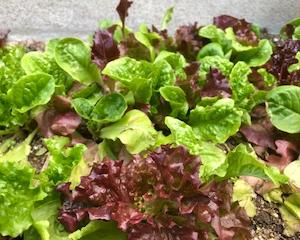 葉物野菜、わが家のキッチンガーデン