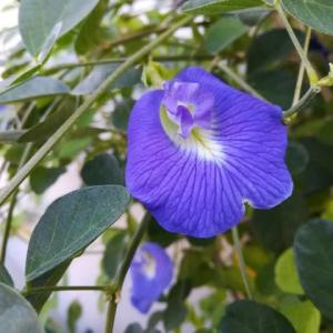 八重のバタフライピー(蝶豆)